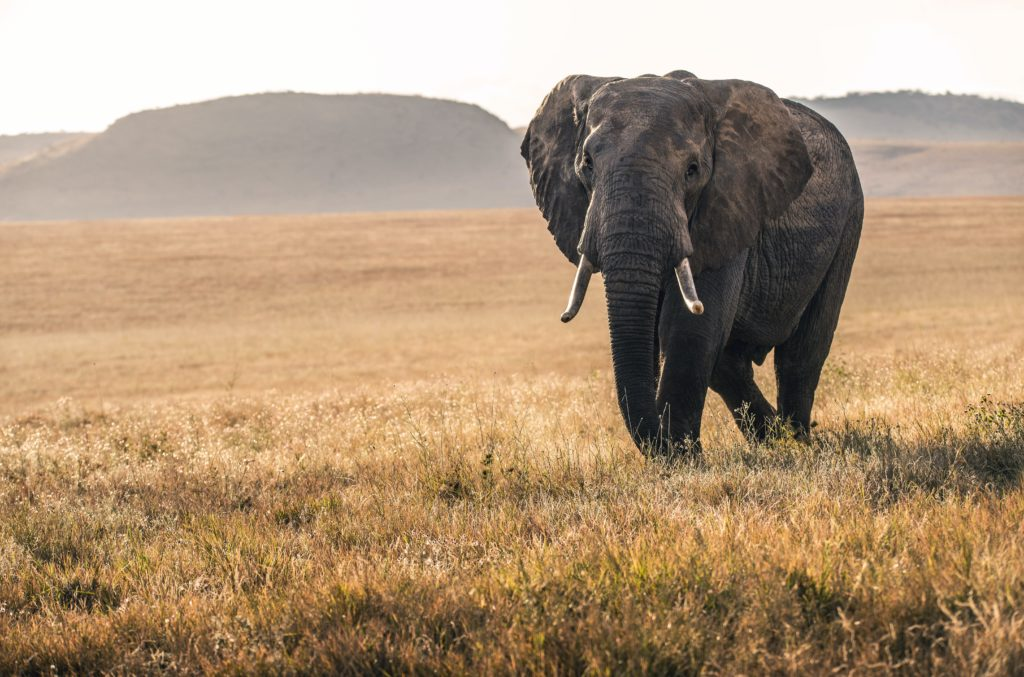 Elephant marchant